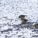 American Goldfinch in Winter 20150110 by Woody Woodsman