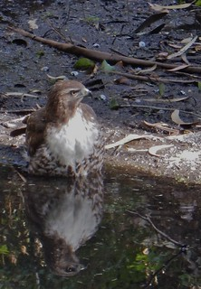 Reflecting on a Buteo jamaicensis