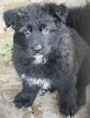 dog breed, animal, puppy, dog, pet, german spitz, newfoundland, mudi, carnivoran,