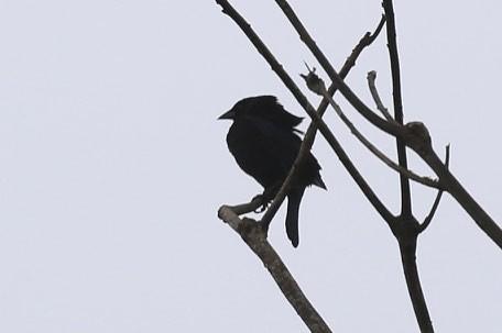 birds costarica knuthansen