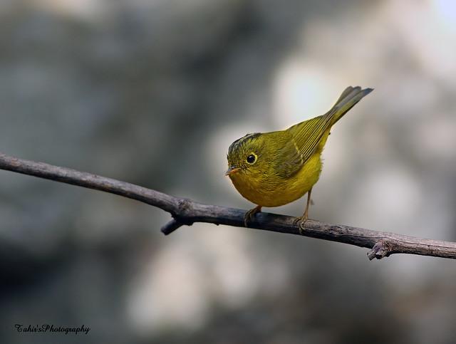 Whistler's warbler (Seicercus whistleri)