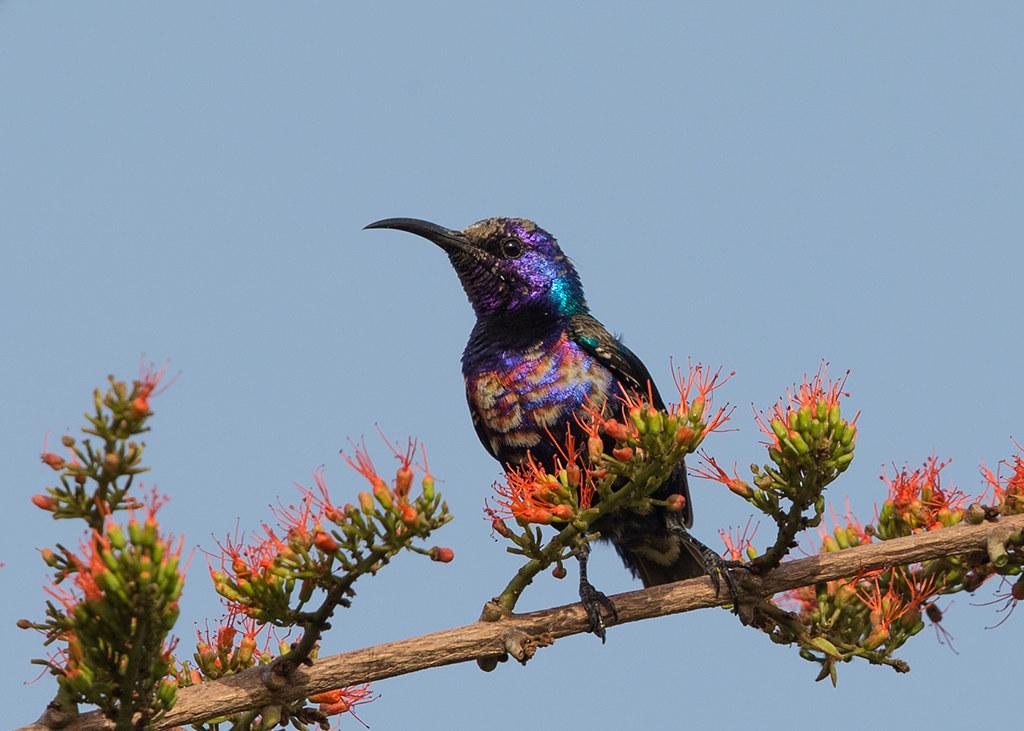 Splendid Sunbird  Gambia