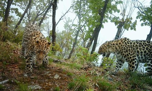 過去7年,東北豹數目已經增加超過一倍。(來源:ISUNR)