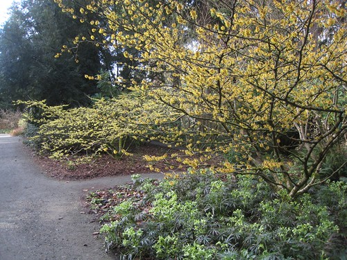Hamamelis and Hellebore