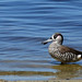 Pink-eared Duck by jeans_Photos