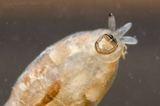 Black fly larva (Diptera, Simuliidae), suction disc detail