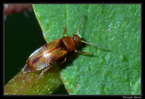 Scraptiidae (Anaspis melanopa ?)
