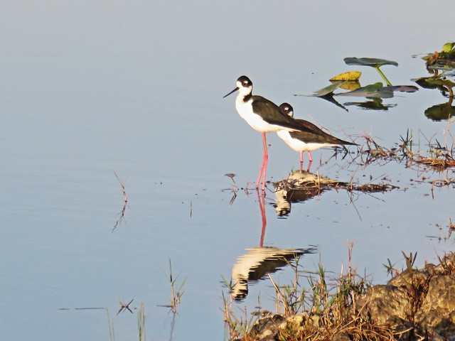 Black-necked Stilts 05-20150315