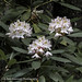 West Virginia State Flower - Rhododendron (Rhododendron ferrugineum)