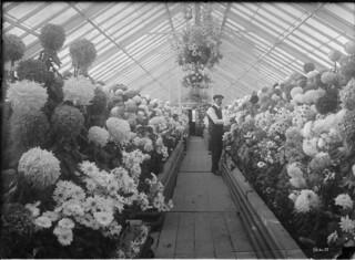 A display of mums in a Central Experimental Farm greenhouse, Ottawa / Un étalage de chrysanthèmes dans une serre de la Ferme expérimentale centrale d'Ottawa