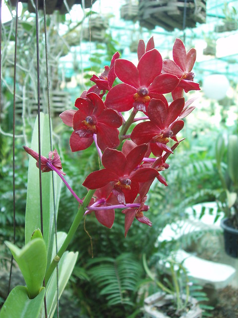 200901280063_dark-red-brown-orchid