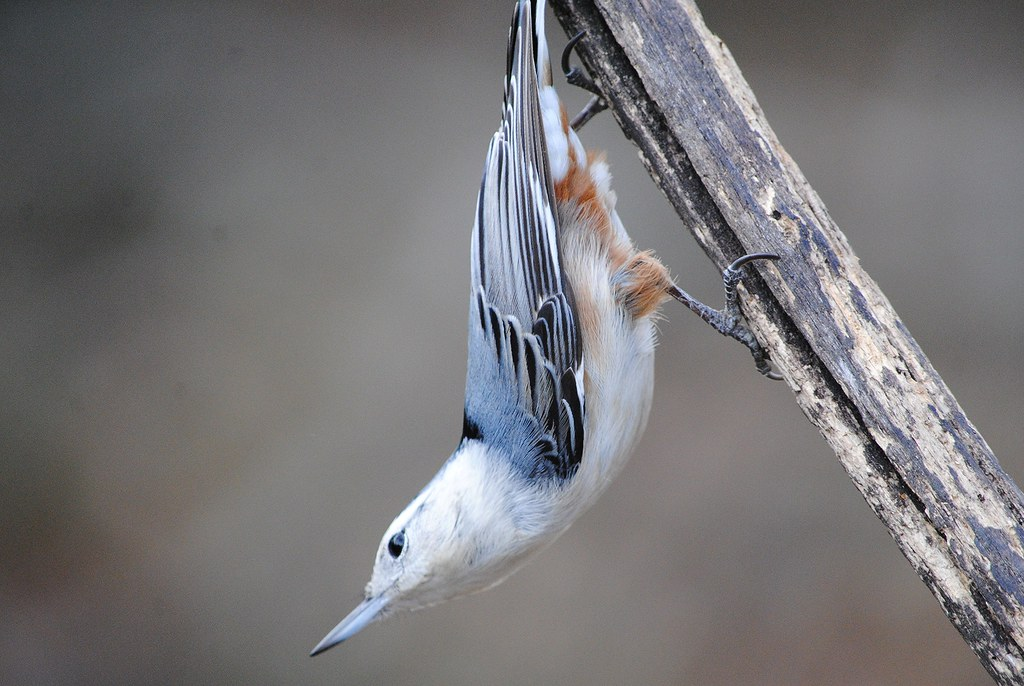White-breasted Nuthatch (Каролинский поползень)
