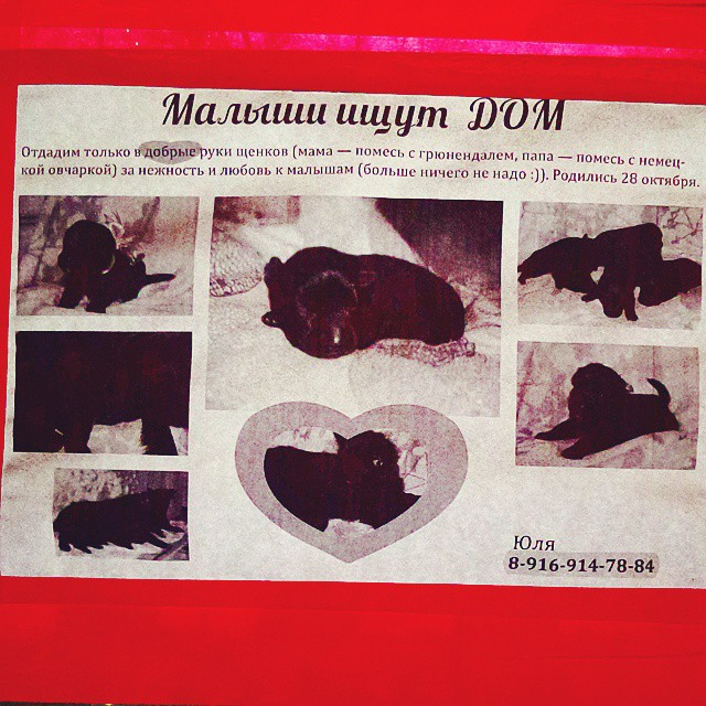 Кому щенки в добрые руки? #Москва #собаки #щенки #ищемхозяина #объявления