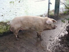 "Not ""Arnold"" the Pig at St Fagans ;-)"