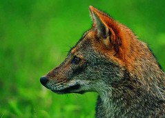 kit fox(0.0), animal(1.0), red wolf(1.0), jackal(1.0), grey fox(1.0), fauna(1.0), red fox(1.0), dhole(1.0), carnivoran(1.0), wildlife(1.0),