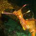 Weedy seadragon portrait series (dragon 9) - Phyllopteryx taeniolatus by Marine Explorer