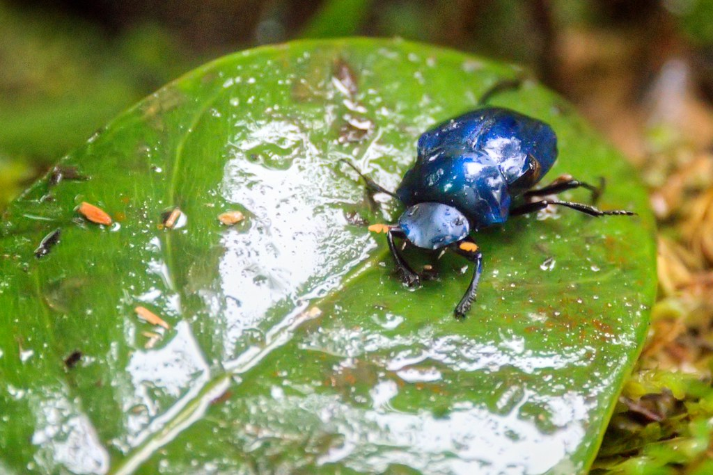 Blue Dung Beetle