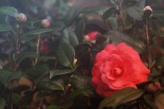 camellia, shrub, flower, leaf, red, plant, flora, camellia japonica,