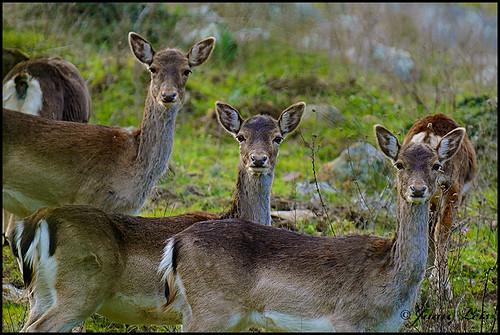 En invierno los llamativos colores de los gamos cambian por tonos mucho mas apagados, muy similares a los ciervos, pero conservan sus manchas negras alrededor de la cola.