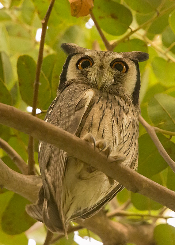 Northern White-faced Owl   Gambia