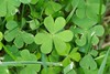 According to legend, Saint Patrick used the three-leaved shamrock to explain the Holy Trinity to Irish pagans. Here are some I found outside in my garden.