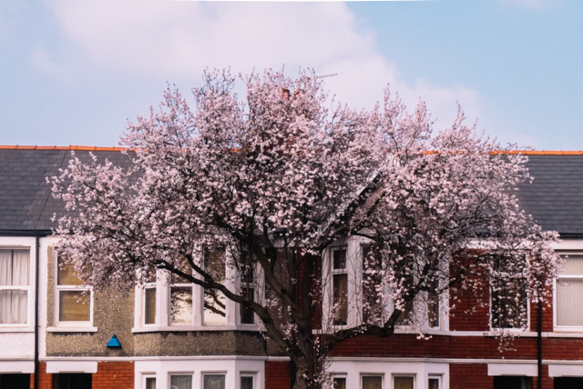 blossom tree in front of houses