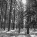 Washington Pines off the Gunflint trail by minnepixel