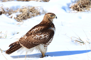 IMG_4813-1 Red-tailed Hawk