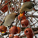 Bohemian Waxwings by clickclique