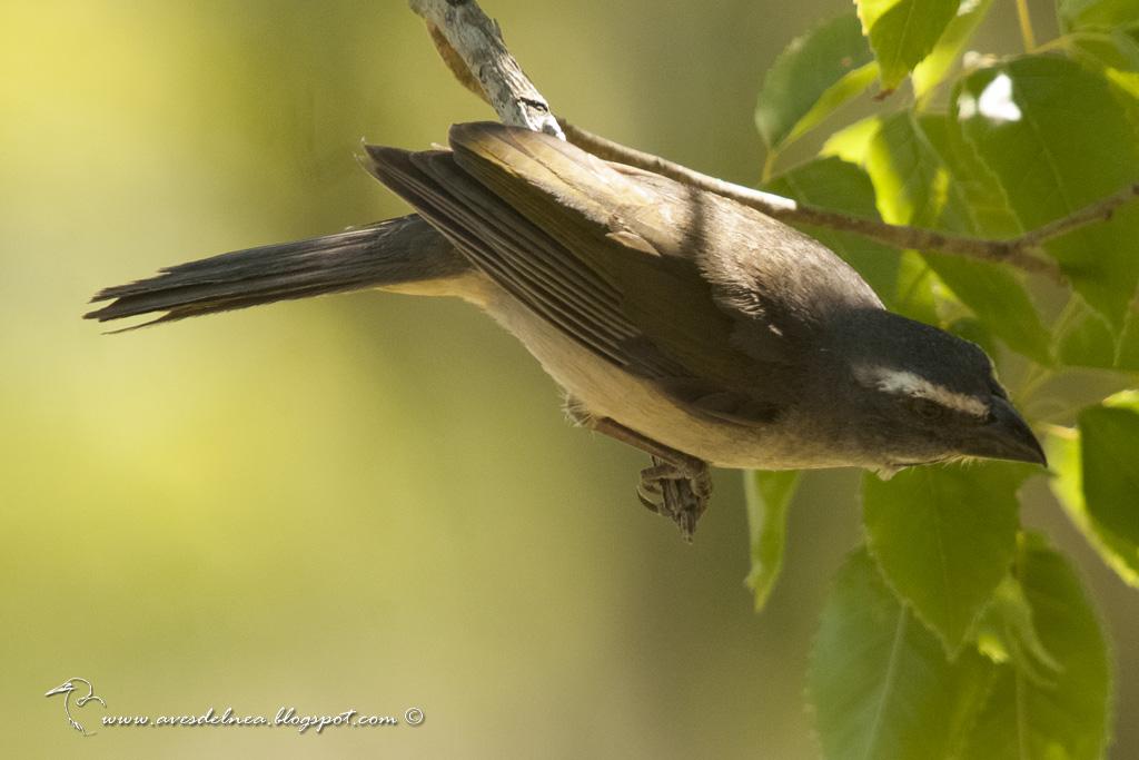 Pepitero verdoso (Green-winged Saltator) Saltator similis