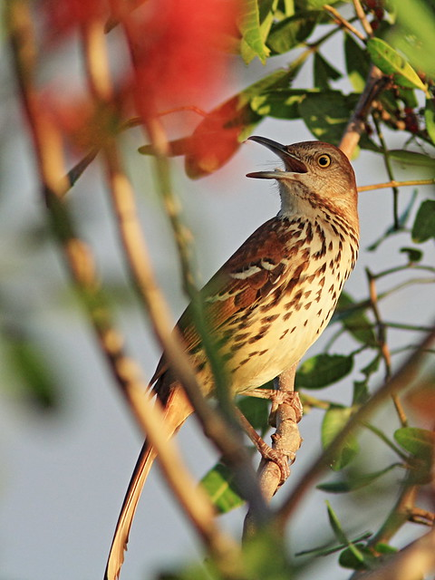 Brown Thrasher singing 2-20150304