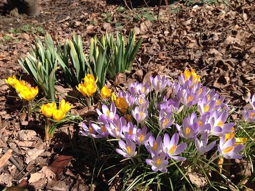 Crocuses and Daffodil Shoots