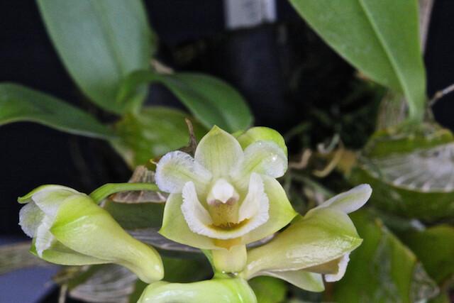 Dendrobium lamellatum 16810993441_904ca7ccc2_z
