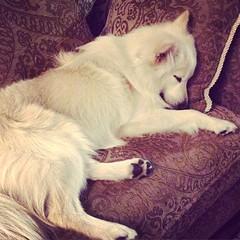 Esta vida de perros que llevamos... #eskie #americaneskimo #esquimalamericano