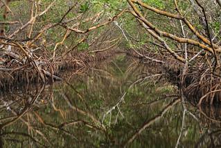 Woolverton Trail, Rhizophora mangle tunnel, Charlotte Harbor Preserve State Park, Charlotte County, Florida 1