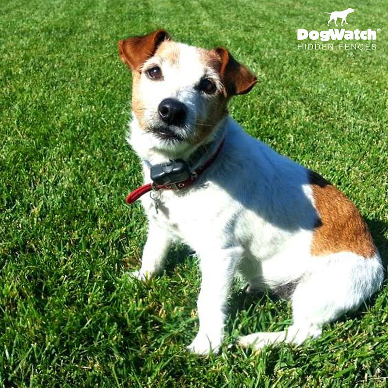 Sunny, Jack Russell Terrier, DogWatch of Santa Barbara