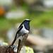Blue-capped Redstart (Phoenicurus caeruleocephala)