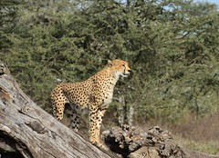 Cheetah in the Ngorongoro Conservation Area (7)