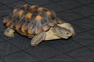 Borrego the Tortoise