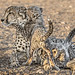 s AT Cheetah family_DSC_9923 by Andrew JK Tan