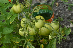 Tomates vertes - Photo of Mareuil