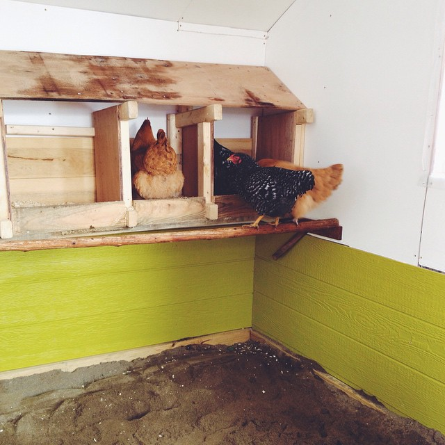 The first chickens in their new coop. Apparently the unfamiliar sand floor is lava. Their familiar nesting boxes are a safe bet, however.