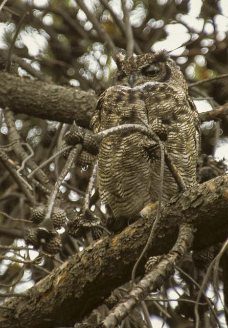 Magellanic Horned Owl - Tierra del Fuoco  0001