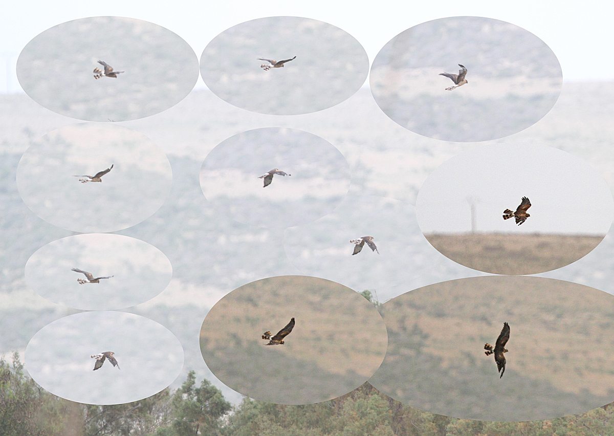Montagu's Harrier, Oued Massa, Morocco, Jan 2015, proof picture