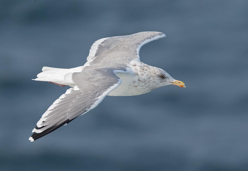 Vega Gull