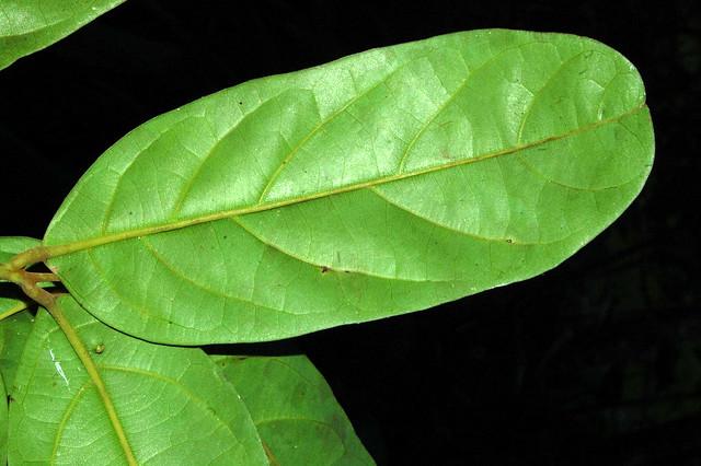 Cryptocarya cunninghamii DSC_0016