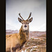 Young Red Deer Stag by Col-B