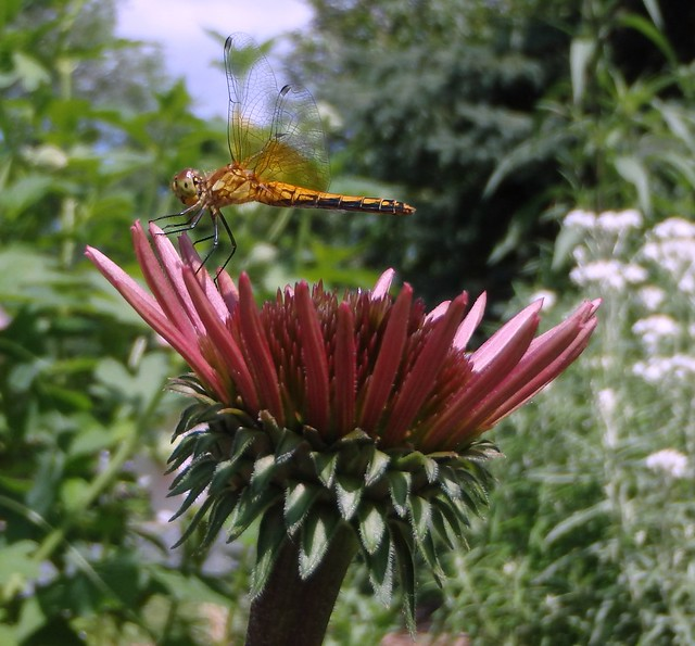 dragonfly on a budding purple coneflower