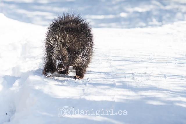 Winter walk on the Jack Pine Trail