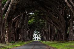 Monterey Cypress Tree Tunnel